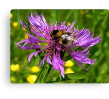 Bumble Bee on a wild Flower Canvas Print