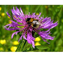 Bumble Bee on a wild Flower Photographic Print