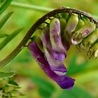 purple vetch  by tego53