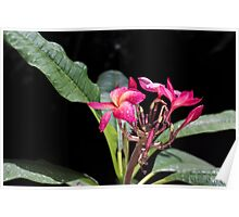 Blooming red plumeria Photographed in a botanic garden Poster