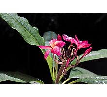 Blooming red plumeria Photographed in a botanic garden Photographic Print