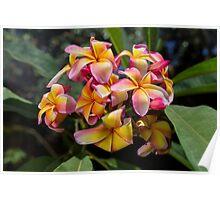 Blooming Frangipani (Plumeria tricolor)  Poster