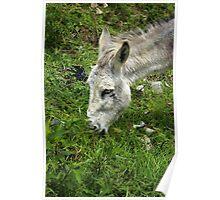 Head of a Jerusalem Donkey Poster