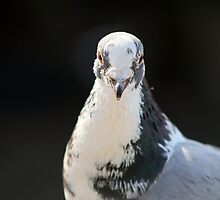 White Faced Pigeon by GreyFeatherPhot