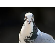 White Faced Pigeon Photographic Print