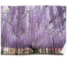 Japanese Wisteria of 150 years old Poster