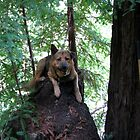 Jack On Old Growth Stump by CaliWildViolet