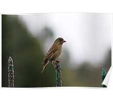 Female Greenfinch Poster
