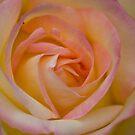 Rose; before the rain by Nala