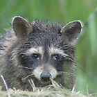 Raccoon by Dave & Trena Puckett