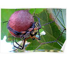 Garden Spider Protecting Her Eggs Poster