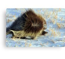 Porcupine in Ground Blizzard Canvas Print