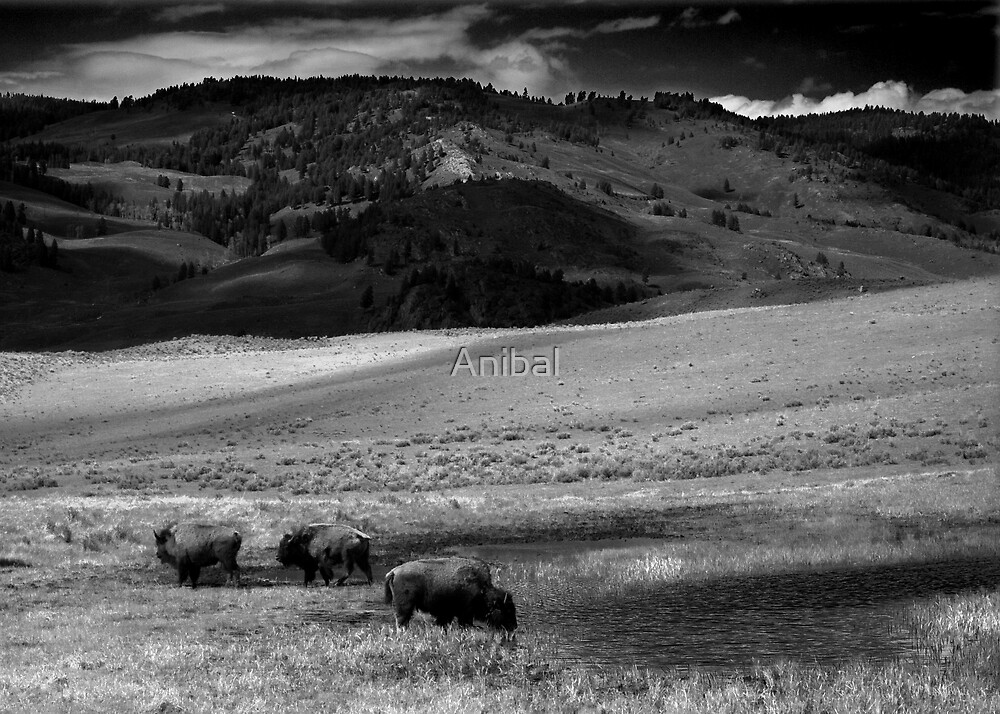 Where the Buffalo Roam...  by Anibal