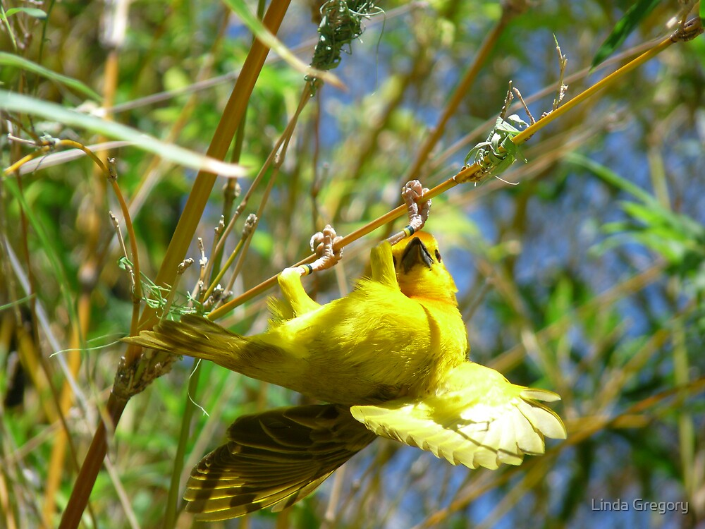African Weaver Bird by Linda Gregory