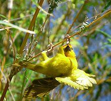 African Weaver Bird by Linda Gregory