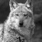 PORTRAIT OF A GREY WOLF by mlynnd