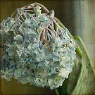 blue hydrangea by YTYT