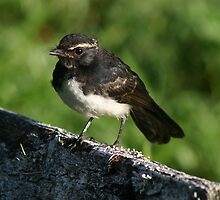 Willy Wagtail by triciaoshea