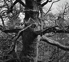 Old tree by franceslewis