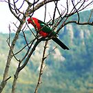 King Parrot at  Mt Barney by Virginia McGowan