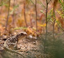 Leopard Lizard Lurking by SB  Sullivan