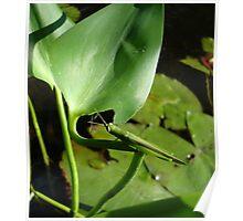 Handsome Meadow Katydid Poster