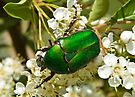 Green Beetle 1 by David Clarke