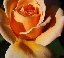 Peach Rose by WaterGardens