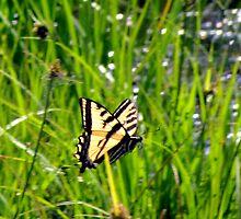 Canadian Tiger Swallowtail in Flight by Chuck Gardner