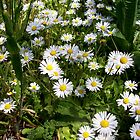 mini-daisies by Jimmy Joe