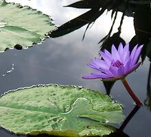 Lily Pond Reflections by schiabor