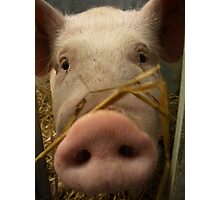 Hay! Keep Snout.... Photographic Print