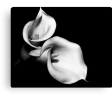 Calla #5 the song of the lure Canvas Print