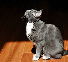 Grey Tuxedo Cat by Keith Gondron