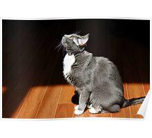Grey Tuxedo Cat Poster