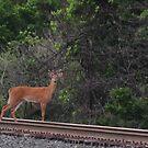 Caution-Deer Crossing by mltrue