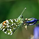 Male Orange Tip Butterfly by Russell Couch