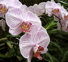 Orchids by MMPhotography