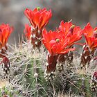 Claret Cup Cactus by Jillian Johnston