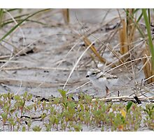 Piping Plover Chick...Hiding in plain sight Photographic Print