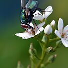 Greenbottle on Loosestrife by Chris Monks