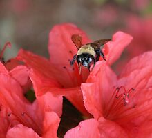 Bumble Bee  On Red Azalea by ©Dawne M. Dunton