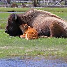 Bison and Calf Napping, Yellowstone by A.M. Ruttle