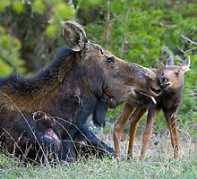 Injured Moose Cow, Licking Days Old Calf by A.M. Ruttle
