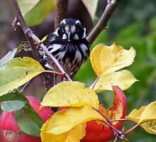 New Holland Honey eater. ( Keep away from my tree!!!) by Esther's Art and Photography