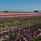 Tuliptown in the Skagit Valley by Barb White