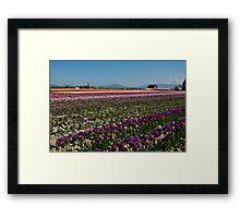 Tuliptown in the Skagit Valley Framed Print