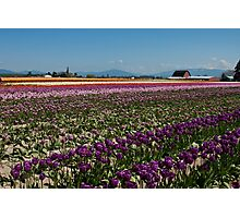 Tuliptown in the Skagit Valley Photographic Print