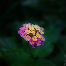 Lantana Flower by Keith G. Hawley
