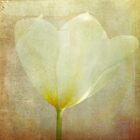 White tulip by YTYT